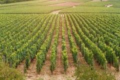 Campo coltivare con i cespugli dell'uva Fotografia Stock Libera da Diritti
