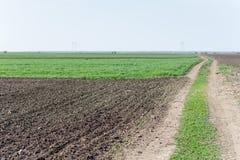 Campo coltivare con la menta Immagini Stock Libere da Diritti