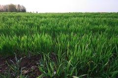 Campo coltivato Fotografia Stock