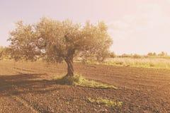 Campo coltivato con di olivo Immagini Stock Libere da Diritti