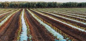 Campo coltivato delle verdure Fotografie Stock Libere da Diritti