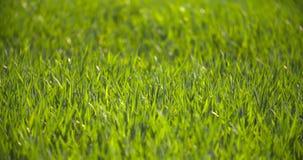 Campo coltivato di giovane grano verde di mattina stock footage