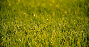 Campo coltivato di giovane grano verde di mattina video d archivio