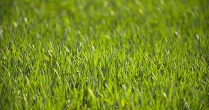 Campo coltivato di giovane grano verde di mattina archivi video