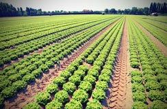 Campo coltivato di lattuga verde nella pianura di Padana con il vinta Fotografia Stock Libera da Diritti
