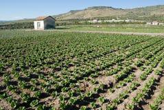 Campo coltivato a lattuga Immagini Stock