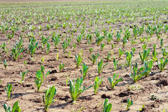 Campo coltivato - scena rurale della campagna Immagini Stock Libere da Diritti