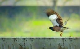 Campo común de Bangladesh Myna del pájaro jpg fotografía de archivo