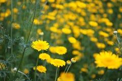 Campo com as flores amarelas da margarida Imagem de Stock Royalty Free
