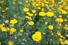 Campo com as flores amarelas da margarida Imagens de Stock