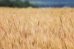 Campo com as orelhas do ouro do trigo Foto de Stock Royalty Free