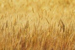 Campo com as orelhas do ouro do trigo Fotografia de Stock