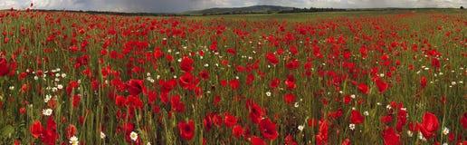 Campo com as papoilas de florescência brilhantes Fotografia de Stock