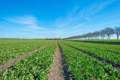 Campo com as tulipas apenas que começam crescer Imagem de Stock