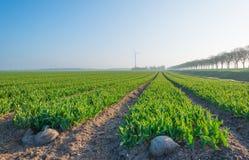 Campo com as tulipas apenas que começam crescer Foto de Stock Royalty Free