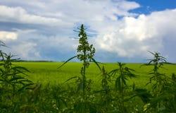 Campo com cannabis arbusto da marijuana Imagens de Stock