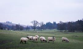Campo com carneiros fotografia de stock royalty free