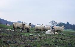 Campo com carneiros imagem de stock