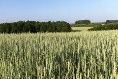 Campo com cereais Fotografia de Stock