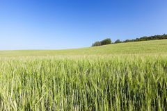 Campo com cereal Imagem de Stock Royalty Free