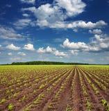 Campo com colheitas emergentes Imagens de Stock Royalty Free
