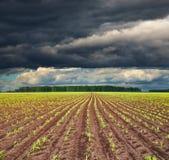 Campo com colheitas sprouting imagens de stock royalty free