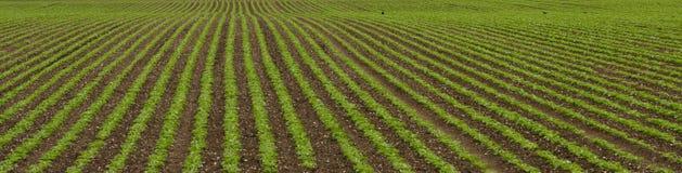 Campo com fileiras das hortaliças Imagem de Stock