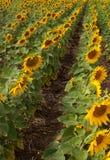 Campo com fileiras dos girassóis. imagem de stock