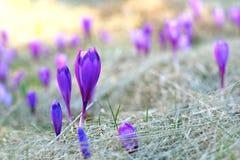 Campo com flores da montanha Foto de Stock Royalty Free