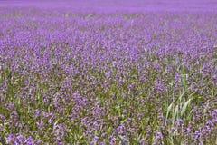 Campo com flores roxas Fotos de Stock Royalty Free
