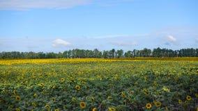 Campo com girassóis de florescência fotografia de stock