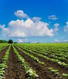 Campo com girassóis verdes foto de stock