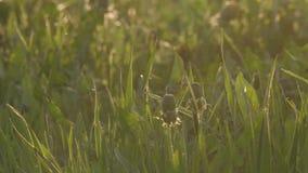 Campo com grama selvagem e dentes-de-leão no por do sol vídeos de arquivo