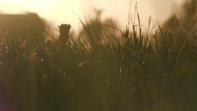 Campo com grama selvagem e dentes-de-leão no por do sol filme