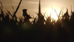 Campo com grama selvagem e dentes-de-leão no por do sol video estoque