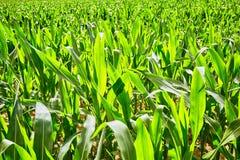Campo com milho Foto de Stock