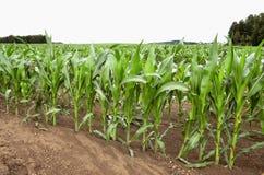 Campo com milho Imagens de Stock