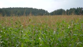 Campo com milho crescente em um dia de verão quente no movimento vídeos de arquivo