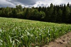 Campo com milho novo Fotografia de Stock Royalty Free