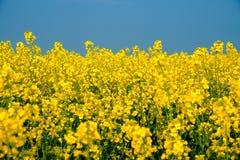 Campo com muitas flores do amarelo que florescem no fundo, República Checa da colza foto de stock royalty free