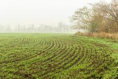 Campo com os brotos verdes do trigo de inverno imagem de stock