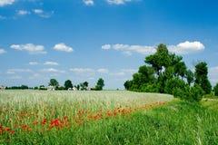 Campo com papoila Imagem de Stock Royalty Free