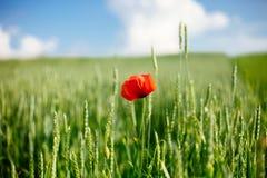Campo com papoila e trigo selvagens na luz do sol Ascendente pr?ximo da flor fotografia de stock royalty free