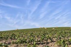 Campo com straum Imagem de Stock