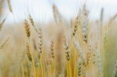 Campo com trigo Imagens de Stock