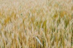 Campo com trigo Foto de Stock