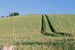 Campo com trigo em julho Imagem de Stock