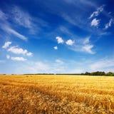 Campo com trigo maduro e o céu azul Fotografia de Stock