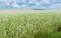 Campo com trigo mourisco de florescência Imagem de Stock Royalty Free