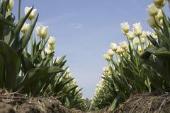 Campo com tulipas brancas Imagens de Stock